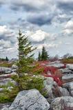 Arbre de pin balayé par le vent dans l'horizontal rocheux Photos stock