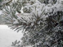 Arbre de pin couvert de neige image libre de droits