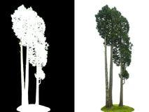 Arbre de pin d'isolement photographie stock libre de droits