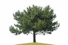 Arbre de pin d'isolement Image libre de droits