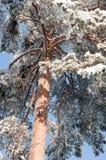 Arbre de pin de l'hiver Photo stock