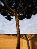 Arbre de pin de Rome Images stock
