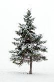 Arbre de pin en hiver Photos stock