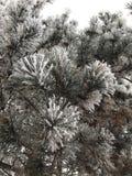 Arbre de pin en hiver Photographie stock