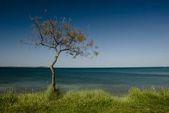 Arbre de pin isolé Image libre de droits