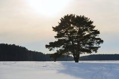 Arbre de pin isolé images libres de droits