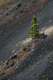 Arbre de pin isolé Images stock