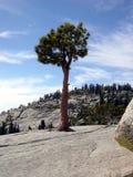 Arbre de pin isolé de Yosemite Photographie stock