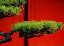 Arbre de pin japonais Photos stock