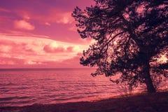 Arbre de pin près de mer Image libre de droits