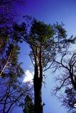 Arbre de pin puissant Photos libres de droits