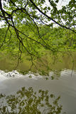 arbre de pin vert de branchement Photos libres de droits