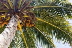 Arbre de plam de noix de coco Photographie stock libre de droits