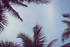 Arbre de plam de noix de coco avec l'espace de copie sur le ciel Photos libres de droits
