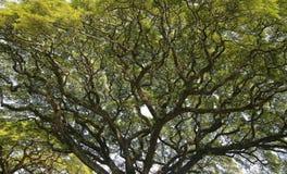 Arbre de pluie hawaïen Photographie stock libre de droits