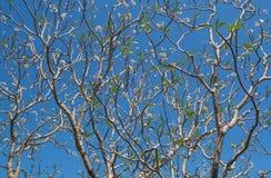 Arbre de Plumeria Image stock