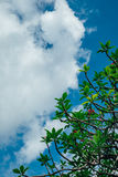Arbre de Plumeria et ciel bleu Photo stock