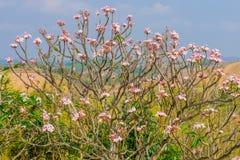 Arbre de Plumeria sur une montagne Image libre de droits