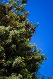 Arbre de poivre et ciel bleu Image libre de droits