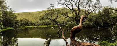 Arbre de Polylepis près d'un lac photo libre de droits