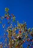 Arbre de Populus avec quelques feuilles d'automne vues de dessous Image libre de droits