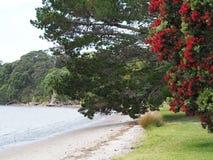 Arbre de Puhutakawa dans l'arrangement de plage du Nouvelle-Zélande Images stock