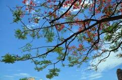 Arbre de regia de Delonix avec les nuages et le ciel Photo libre de droits
