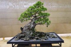 Arbre de Retusa de ficus, exposition Pune Shivajinagar, Pune, maharashtra de bonsaïs photo stock