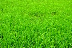 Arbre de riz Photos stock