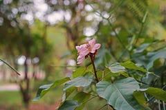 Arbre de rocouyer, plante médicinale et colorant Photographie stock