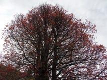 Arbre de rouge d'automne Photo libre de droits