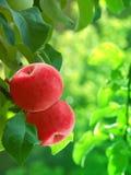 Arbre de rouge de pommes Photos libres de droits