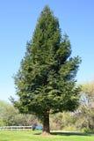 Arbre de séquoia Images libres de droits