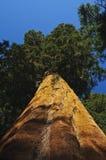 arbre de séquoia d'angle vers le haut Image libre de droits
