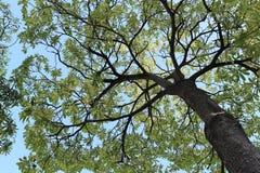 Arbre de séquoia et vue de ciel bleu belle Image stock