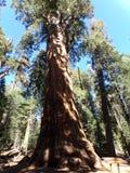 Arbre de séquoia, forêt du Giants, parc national de séquoia, la Californie photos stock