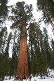 Arbre de séquoia géant Photographie stock