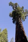 Arbre de séquoia géant en stationnement national de séquoia Photo libre de droits