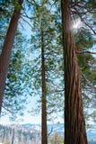 Arbre de séquoias, l'arbre national de Californiaa photos stock