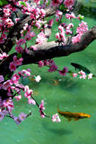 Arbre de Sakura dans l'étang avec des poissons Photo libre de droits