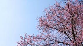 Arbre de Sakura sur le ciel bleu avec le copyspace banque de vidéos