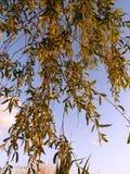 Arbre de Salix et ciel bleu Image libre de droits