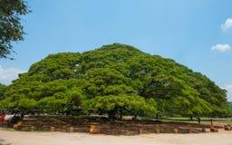 Arbre de saman de Samanea de géant avec la branche dans Kanchanaburi, Thaïlande images libres de droits