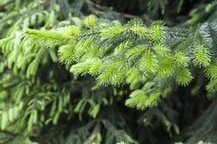 Arbre de sapin à feuilles persistantes Photographie stock