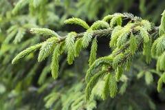 Arbre de sapin à feuilles persistantes Photo libre de droits