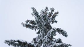 Arbre de sapin avec des cônes en gelée Images stock
