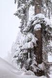 Arbre de sapin couvert de neige dans la forêt de montagne au paysage brumeux de tempête de neige d'hiver Image stock