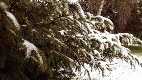Arbre de sapin dans la forêt de parc d'hiver banque de vidéos