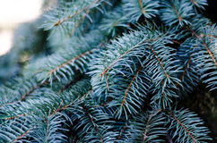 Arbre de sapin, fond pour la conception de Noël Photos stock