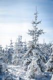 Arbre de sapin neigeux énorme Images libres de droits